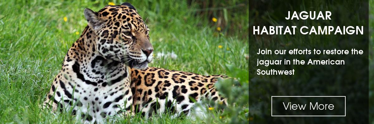Slide: Jaguar