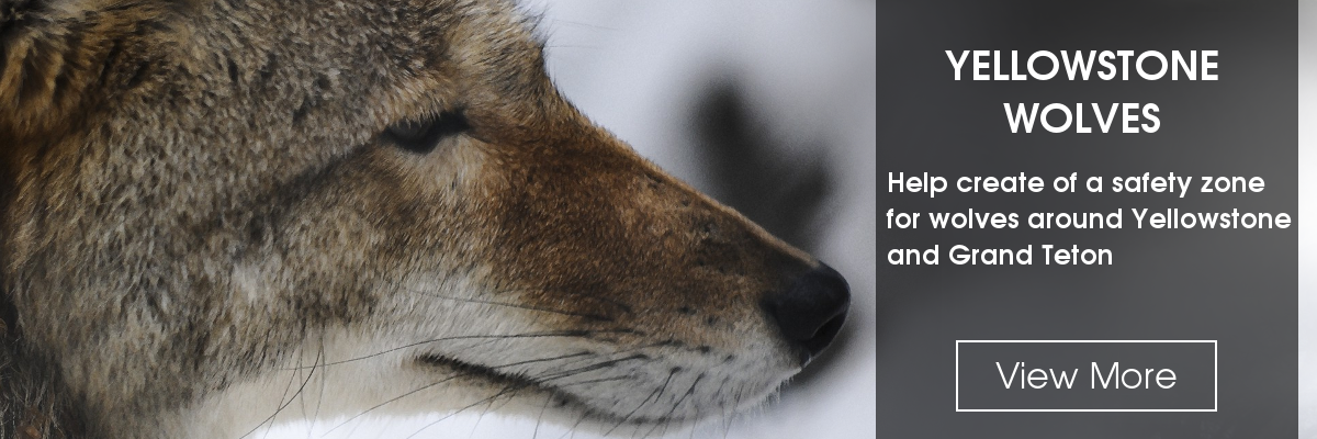 Slide: Wolves